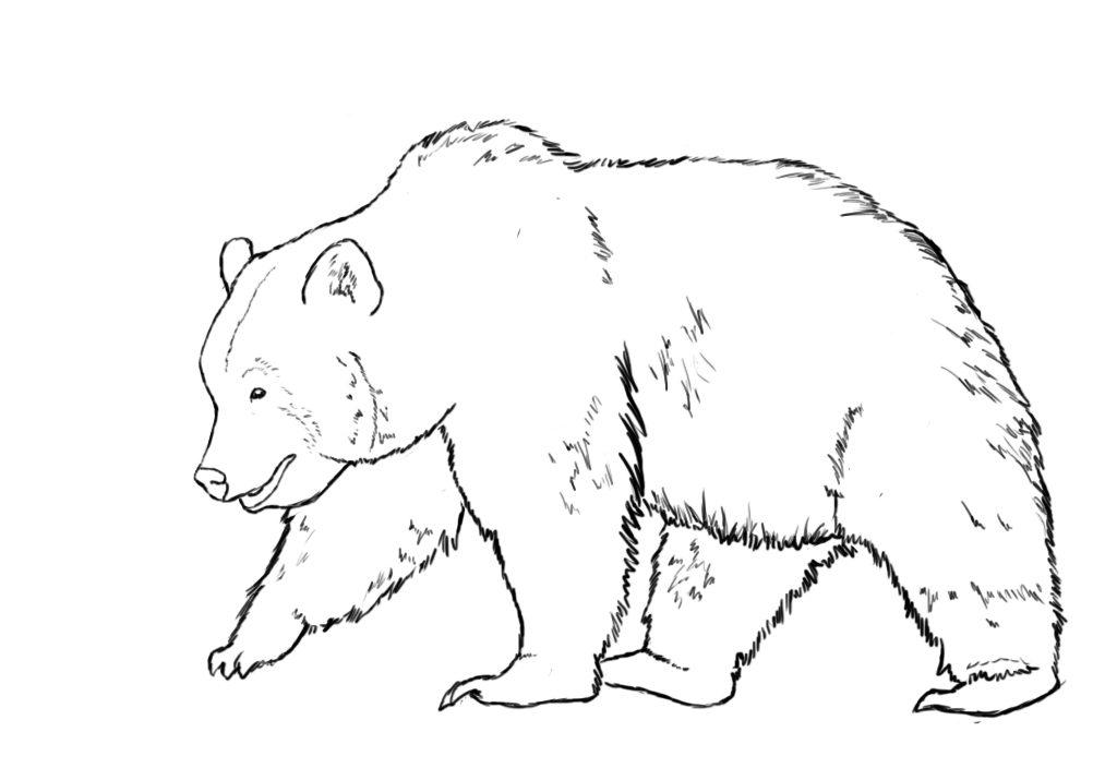 1024x704 Line Drawing Of Bear