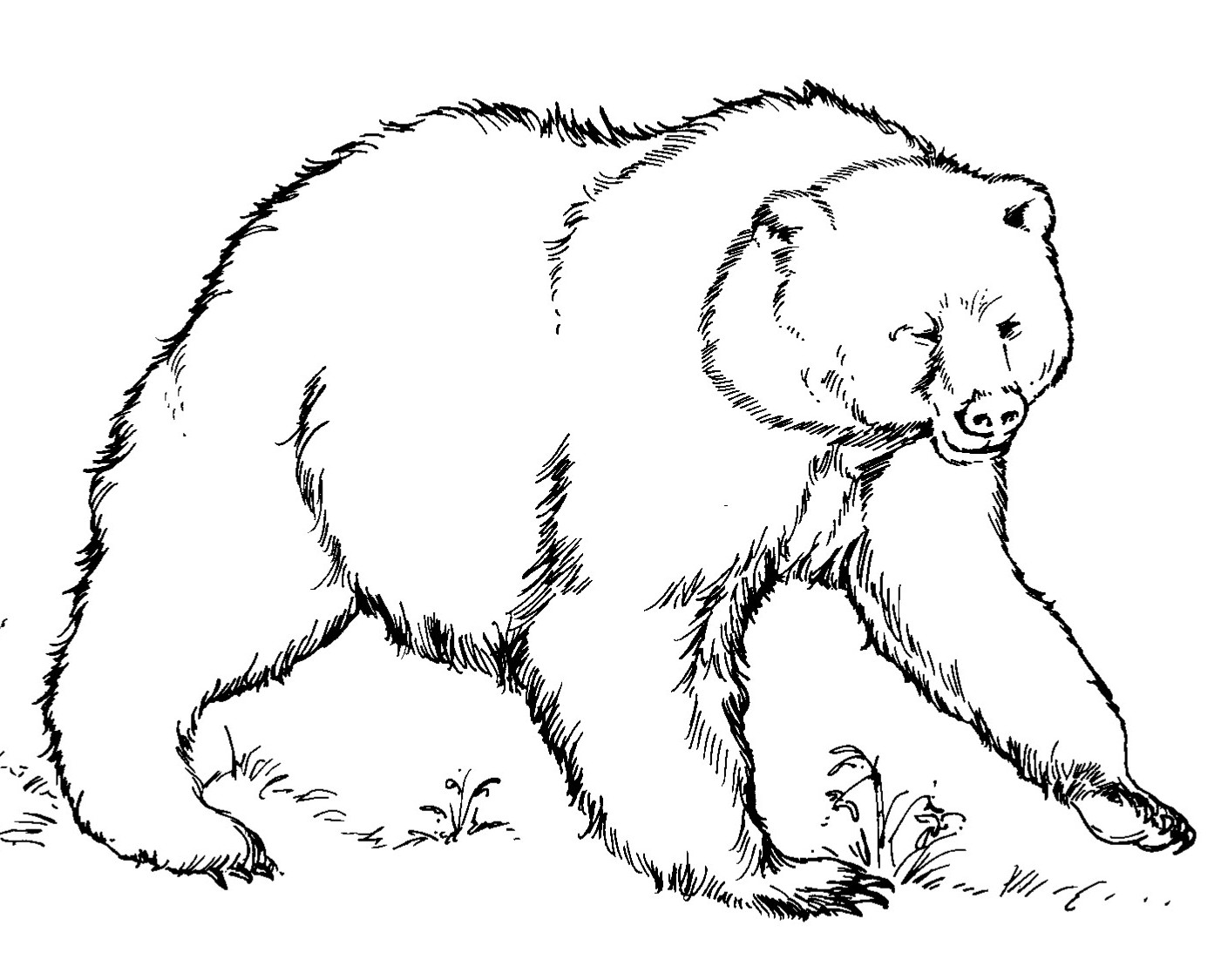Grizzly Bear Line Drawing At GetDrawings
