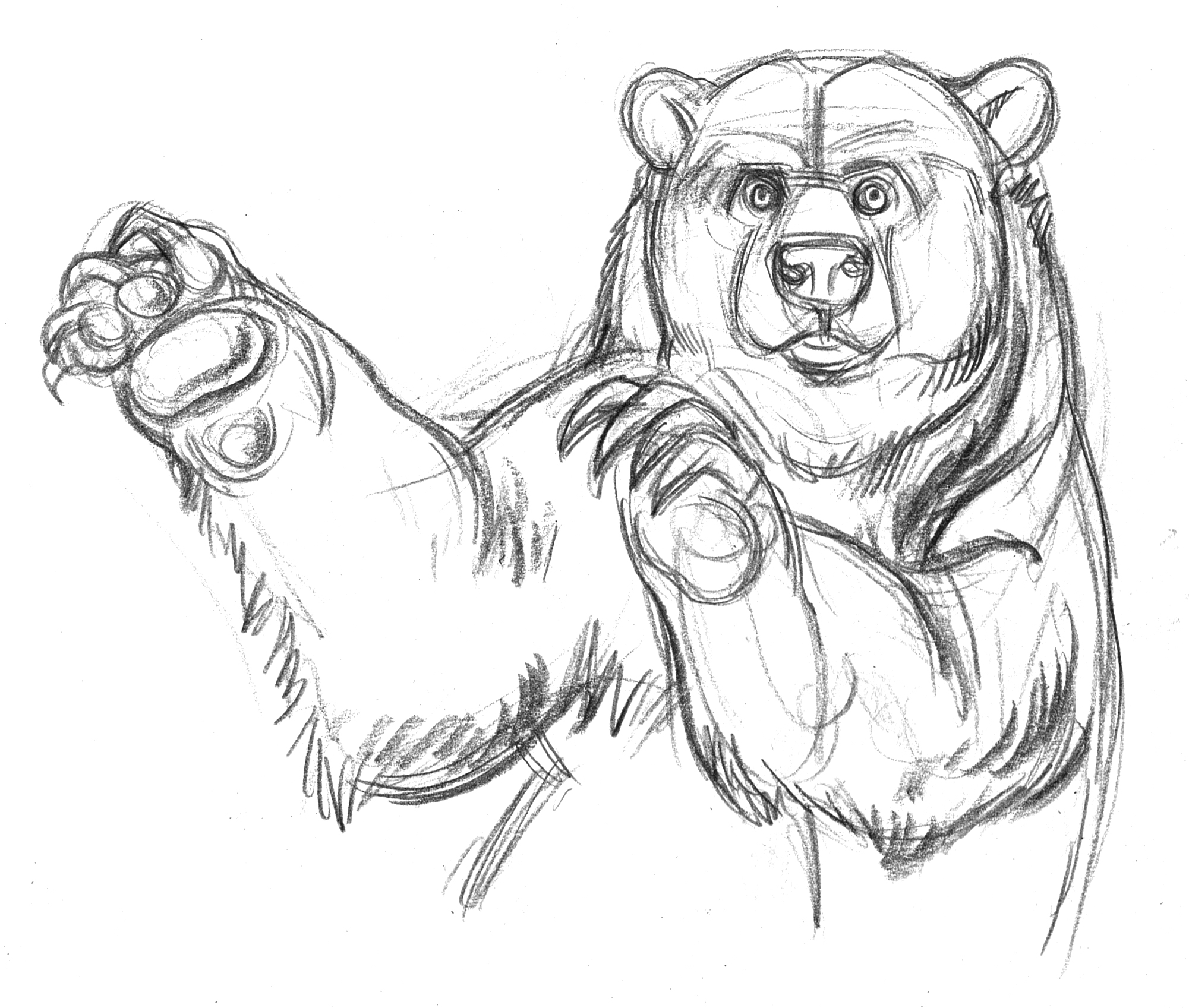 2001x1697 Playful Grizzly Bear Drawn In Pencil
