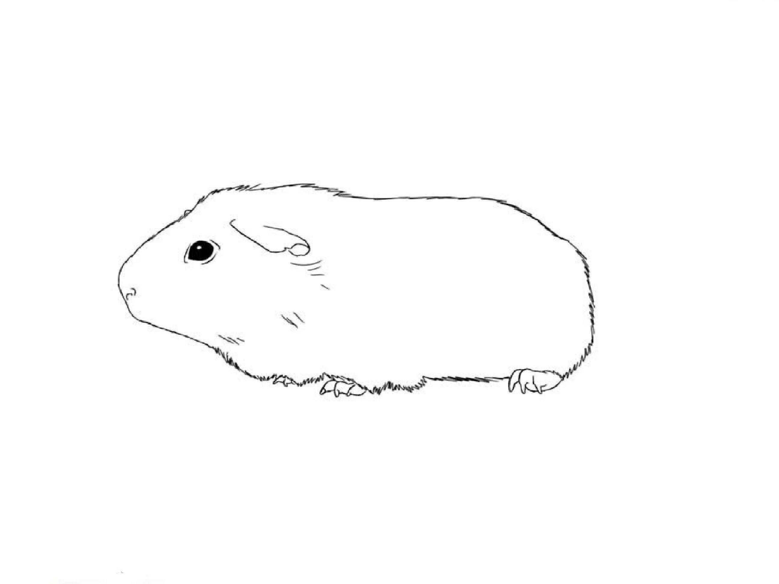 2592x1944 How To Draw A Guinea Pig
