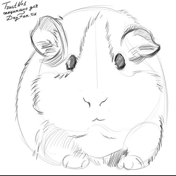 600x600 Guinea Pig Sketches