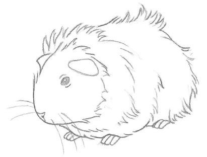 411x312 How To Draw A Guinea Pig Animals Pig Stuff, Cavy