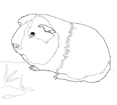 480x432 Cute Guinea Pig Coloring Page Free Printable Coloring Pages