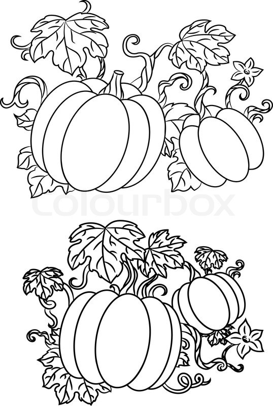 538x800 Black And White Line Drawings Of Pumpkins Growing On Trailing