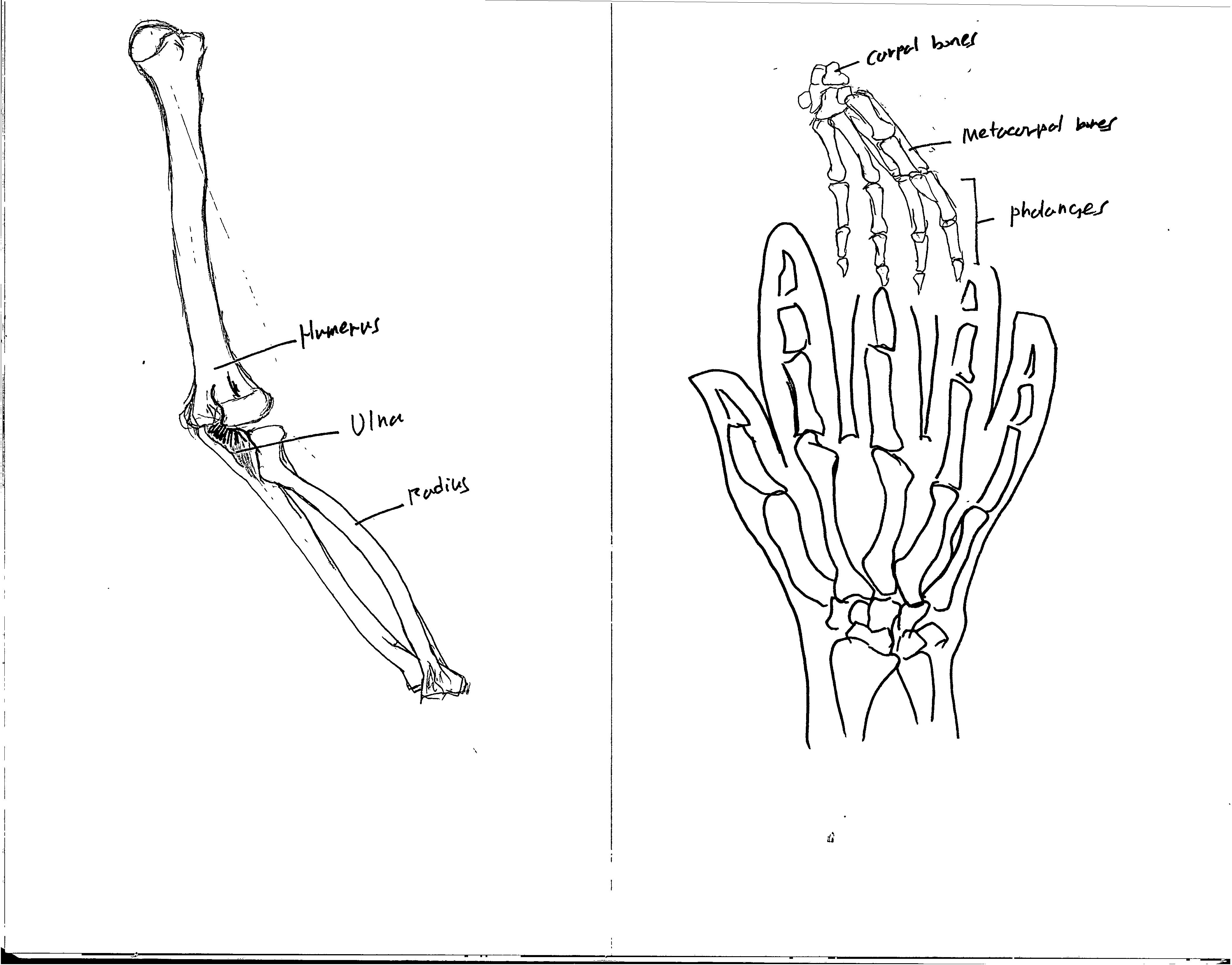 4209x3296 Bone Drawingarm And Hand Joonrockchoi