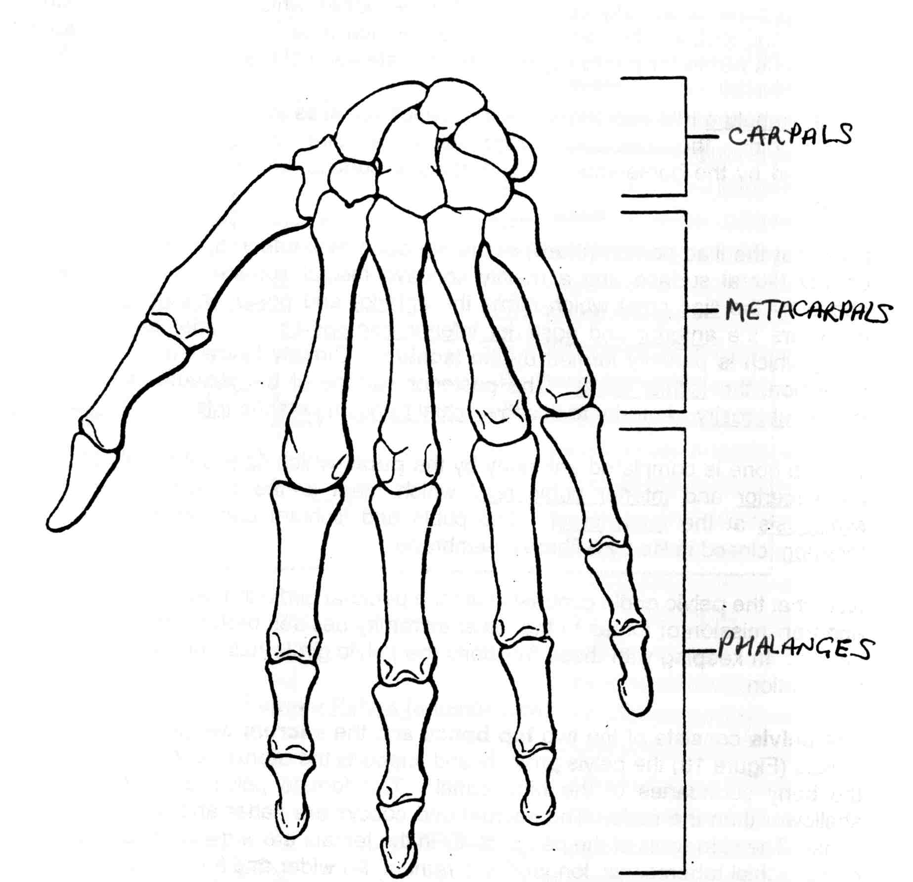 Hand Bone Drawing At Getdrawings Free For Personal Use Hand