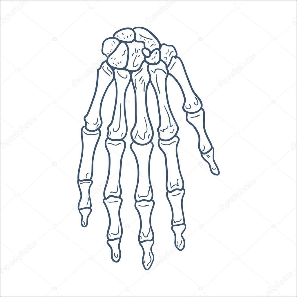 1024x1024 Bones Of Hand. Skeleton Part Isolated On White. Stock Vector