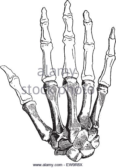 375x540 Hand Illustration Skeleton Thumb Stock Photos Amp Hand Illustration