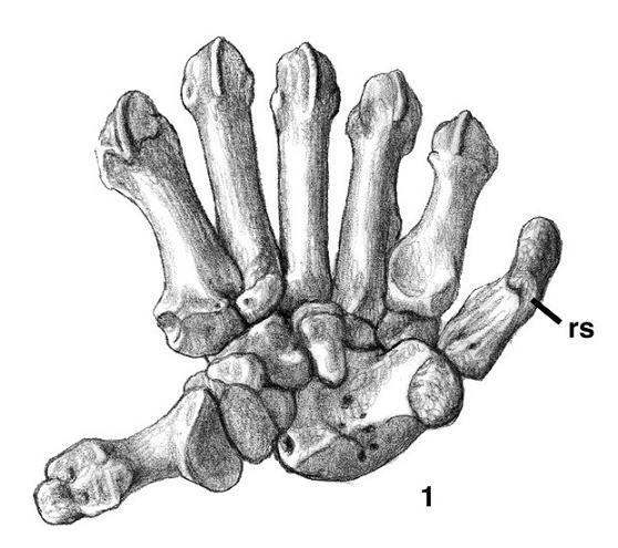 558x495 New Limbs From Old Fins, Part 3 Homology