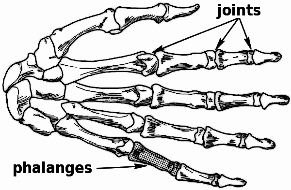 Hand Bones Drawing At GetDrawings
