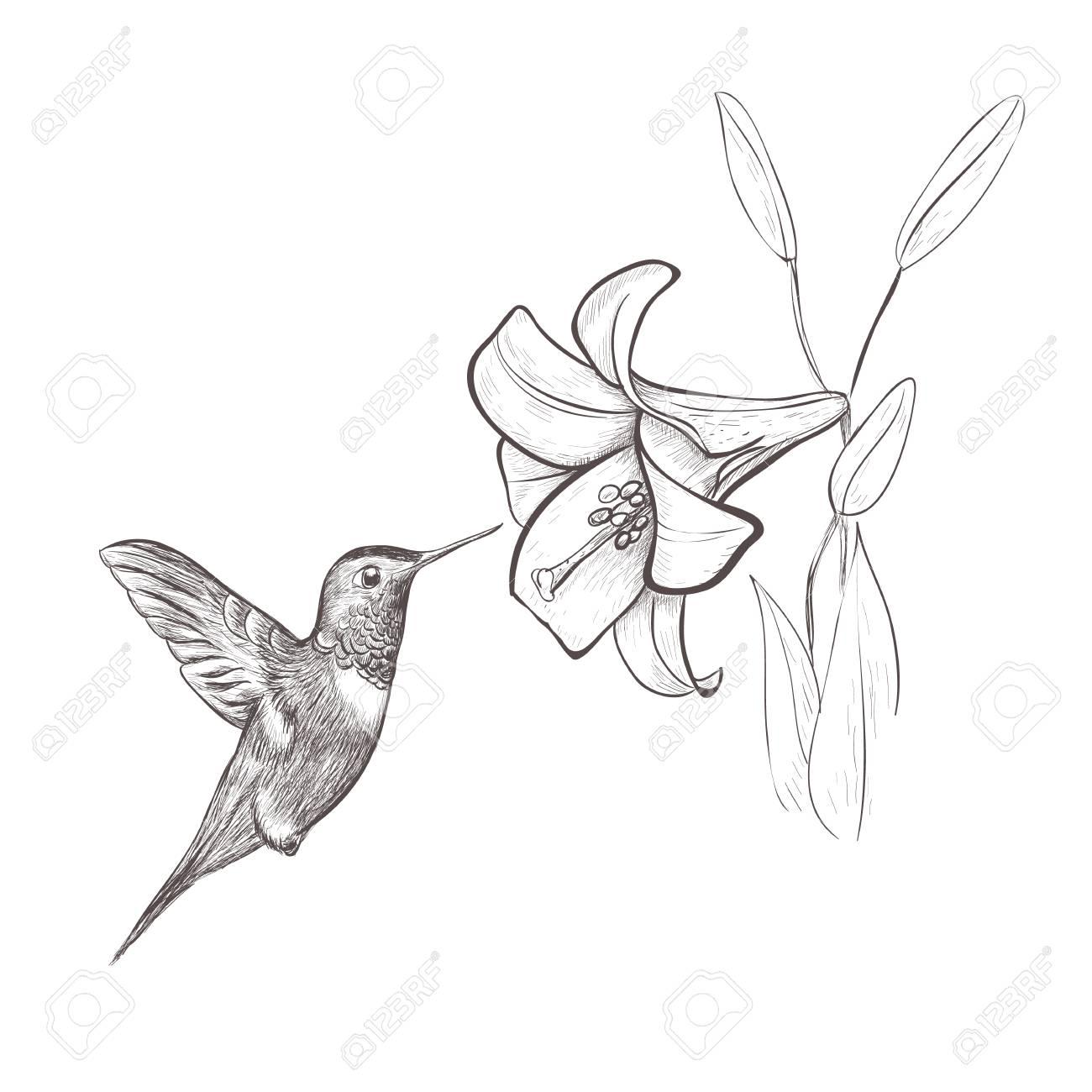 1300x1300 Hummingbird Bird Nectar Flower. Hummingbird And Lily Hand Drawing