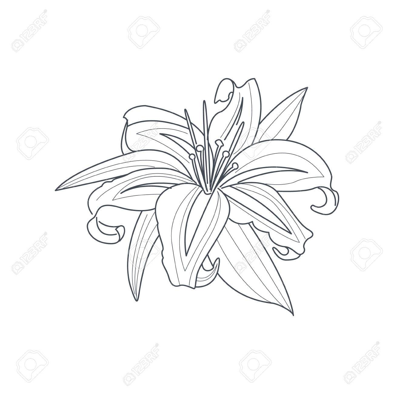 1300x1300 Lily Flower Monochrome Drawing For Coloring Book Hand Drawn Vector
