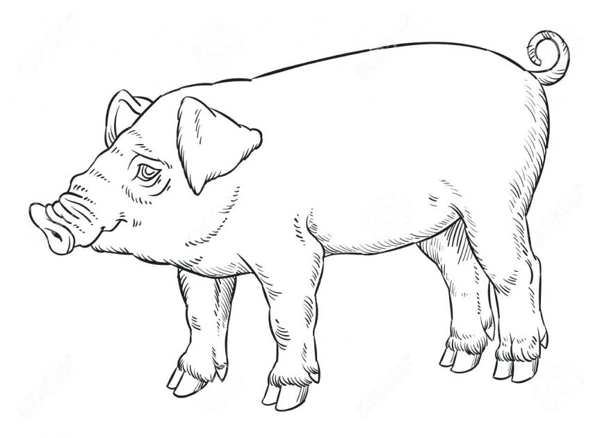 863x630 Outline Hand Drawing Of Domestic Pig Vector Illustration Stock