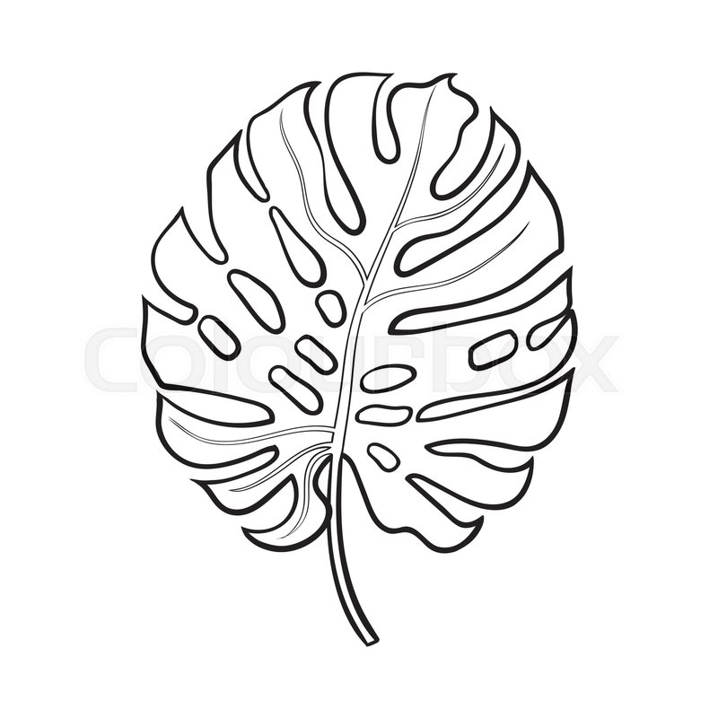 800x800 Full Fresh Leaf Of Monstera Palm Tree, Sketch Style Vector