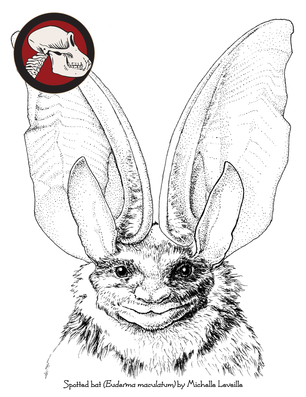 1000x1296 Spotted Bat Drawn By Michelle Leveille. Bats Bats