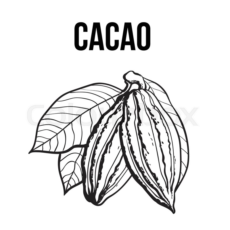 800x800 Hand Drawn Ripe Cacao Fruit Hanging On A Branch, Sketch Style