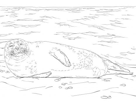 465x348 9 Best Harbor Seals Images On Harbor Seal, Seals