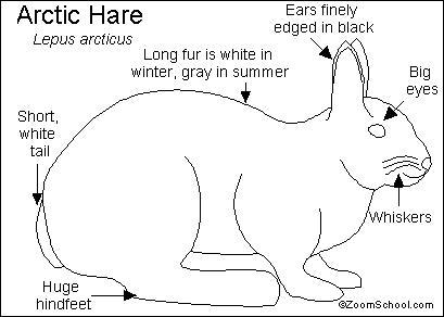 409x292 Arctic Hare Printout