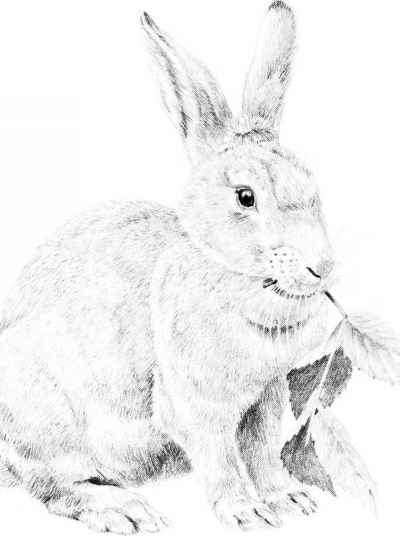 400x536 Drawing A Cottontail Rabbit