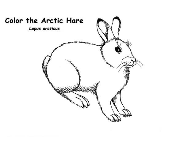 Hares Drawing at GetDrawings