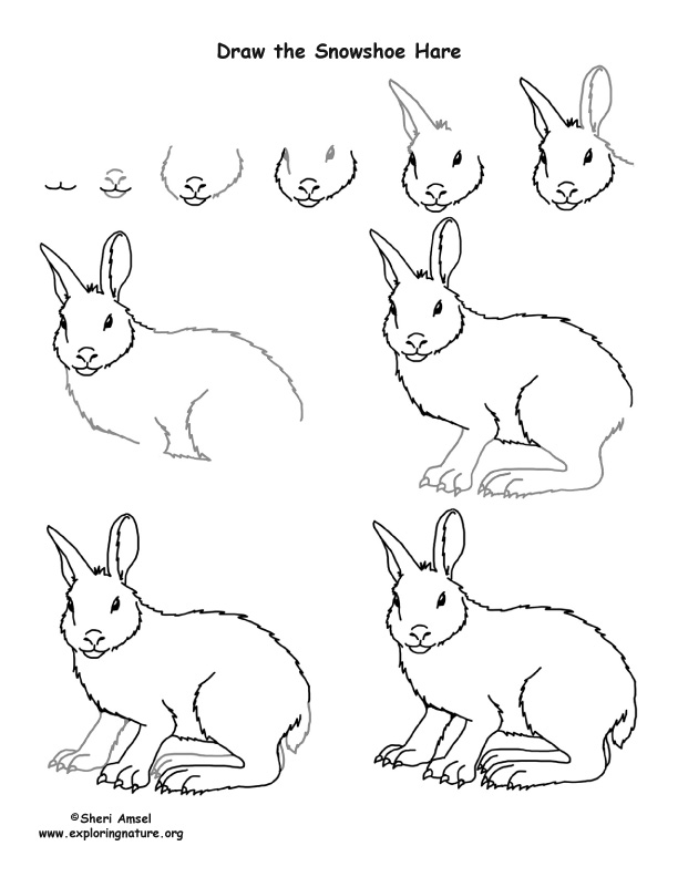 612x792 How To Draw A Snowshoe Hare
