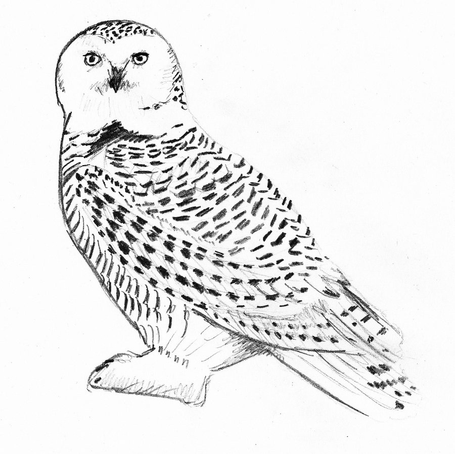 667x942 Hedwig Harry Potter39s Owl Coloring Page Summer Camp Crafts 3 900x899 Just An By LovelyHufflePuff On DeviantArt