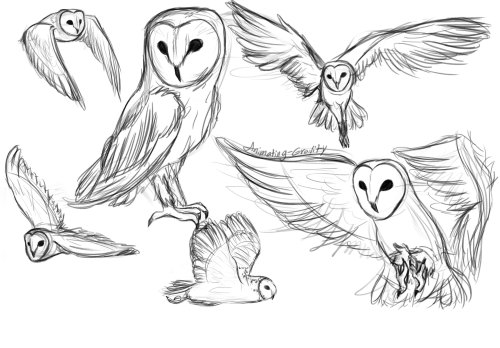 500x348 Barn Owl Drawing Tumblr