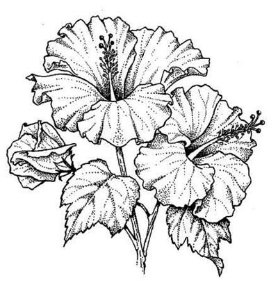 400x423 Hibiscus Flower Drawing