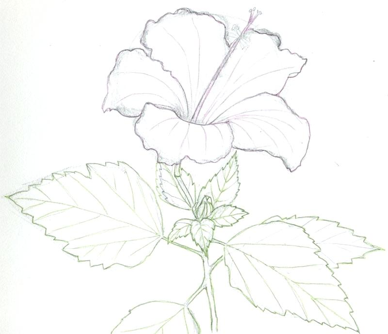 800x689 Drawn Hibiscus Amazing Flower Many Interesting Cliparts