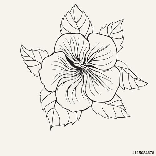 500x500 Hibiscus Flower Top View Line Pattern. Stock Image And Royalty
