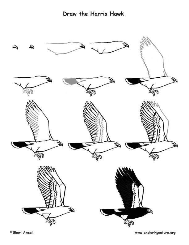 612x792 Hawk (Harris) Drawing Lesson