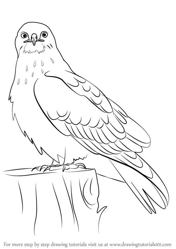 598x844 Learn How To Draw A Rough Legged Hawk (Bird Of Prey) Step By Step