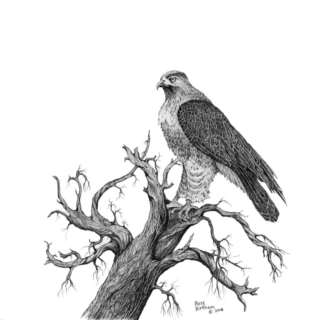 1016x1024 Red Tailed Hawk Drawing Draw A Hawk, Red Tailed Hawk, Stepstep