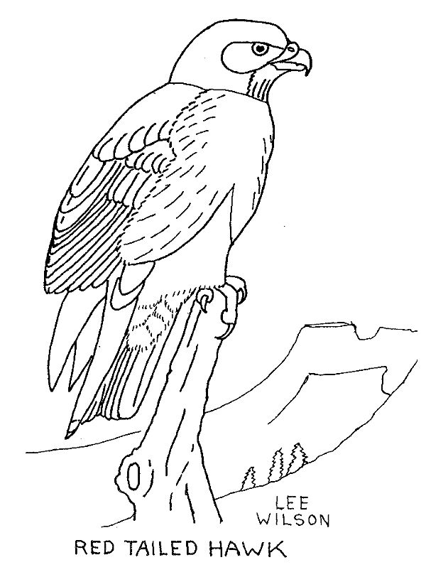 600x812 Red Tailed Hawk Clipart Hawk Mascot
