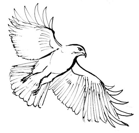 480x461 Hawk Outline 052