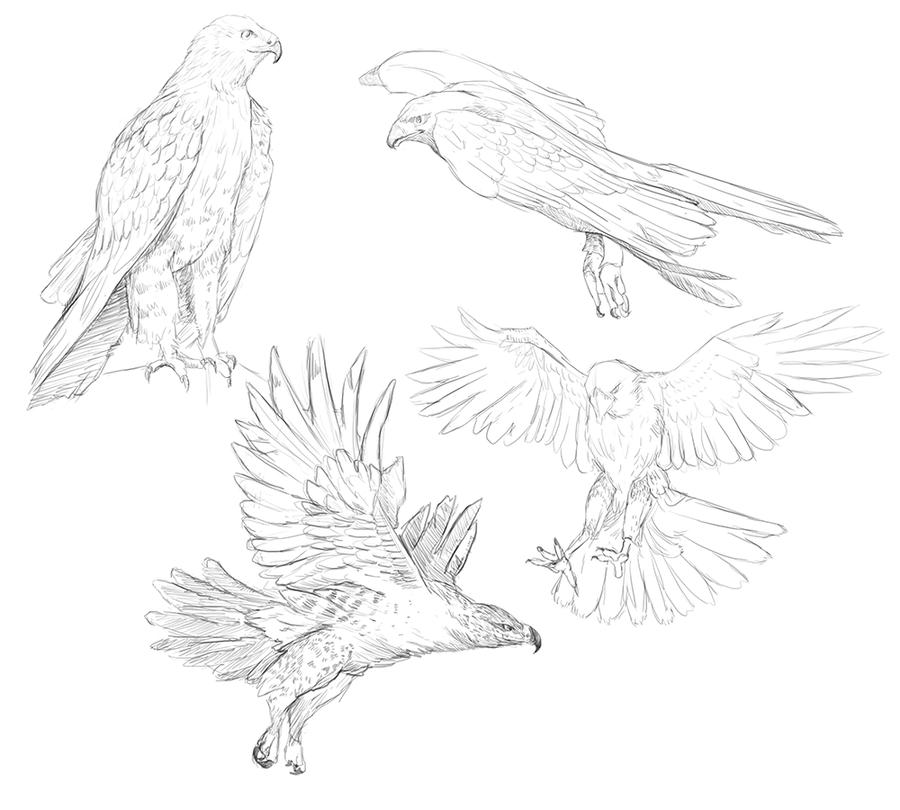 900x810 Hawk Study