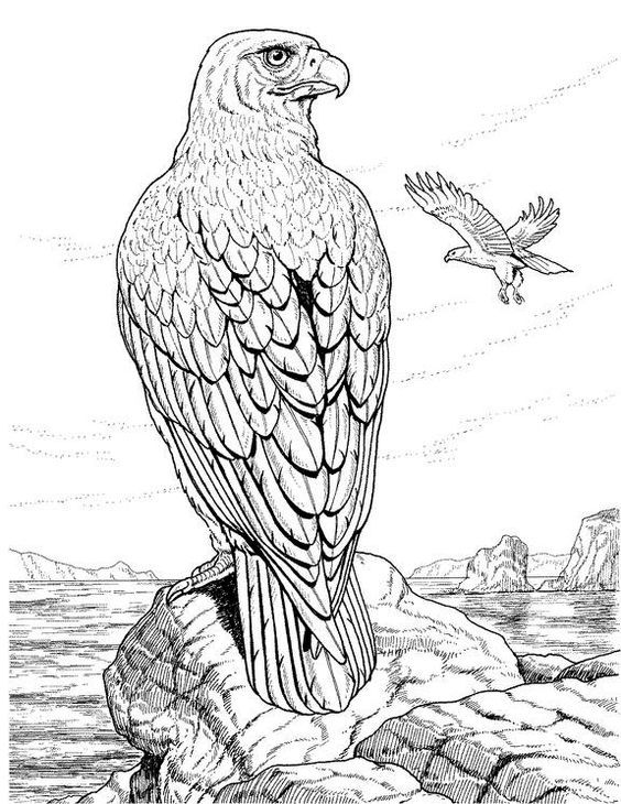 564x730 Feb 2017 Colouring Hawk