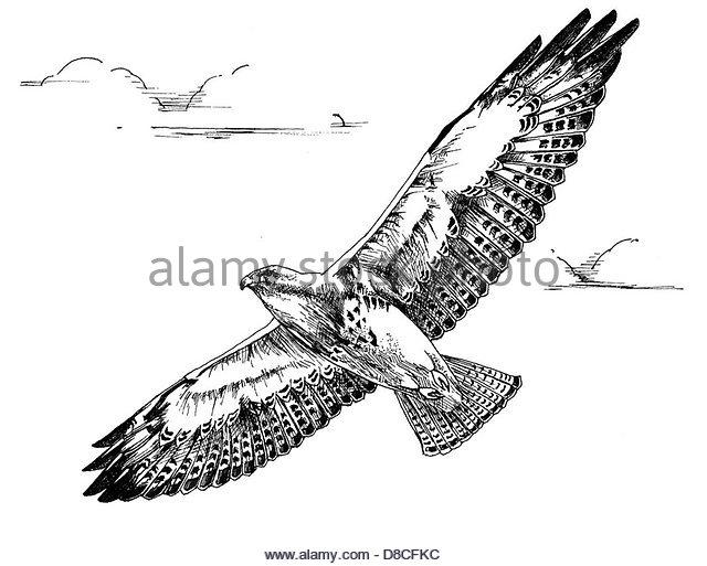 640x513 Swainson Hawk Stock Photos Amp Swainson Hawk Stock Images