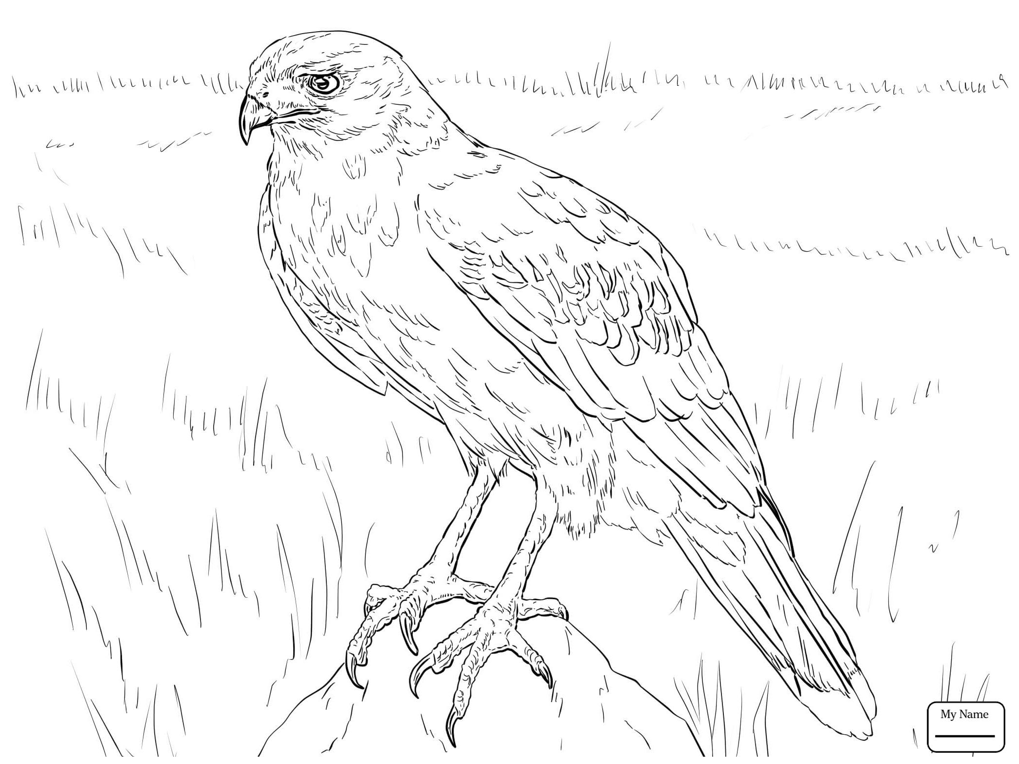 2089x1567 Birds Hawks Hawk 18 Hawks Coloring Pages Azcoloring.club
