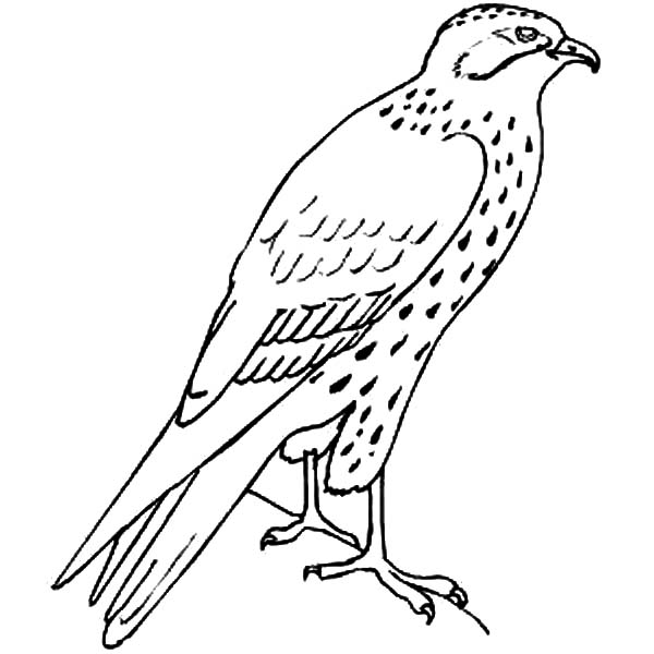 600x600 Bird Coloring Pages Flying Falcon
