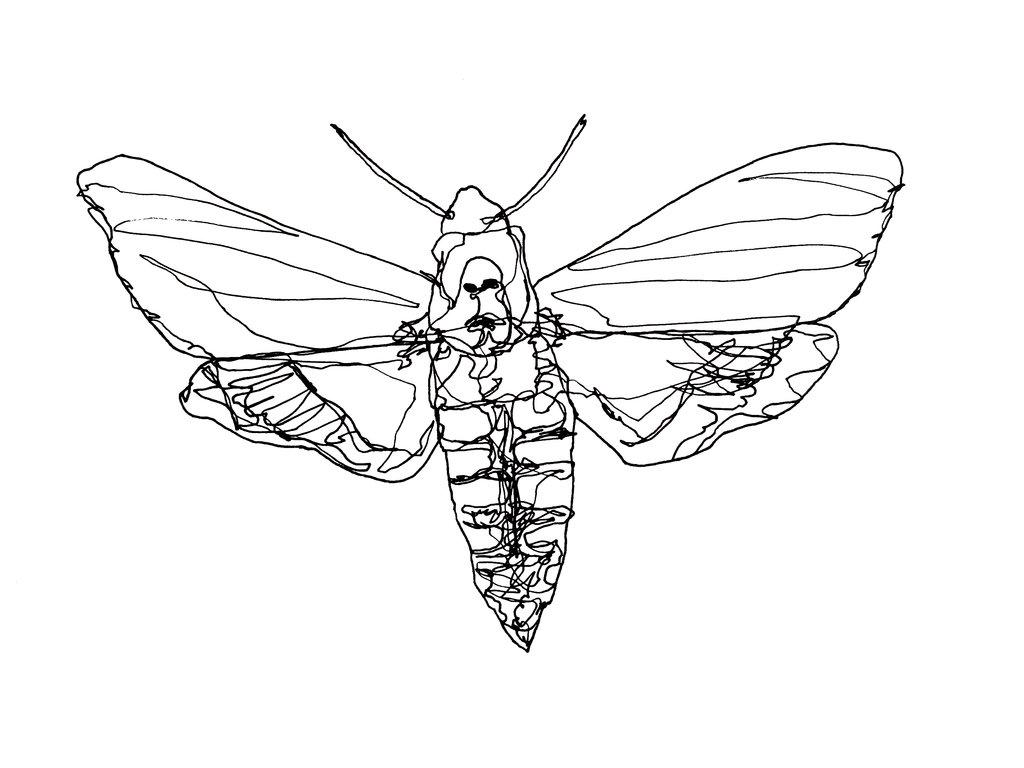 1024x768 Death's Head Hawk Moth By Lunafreja