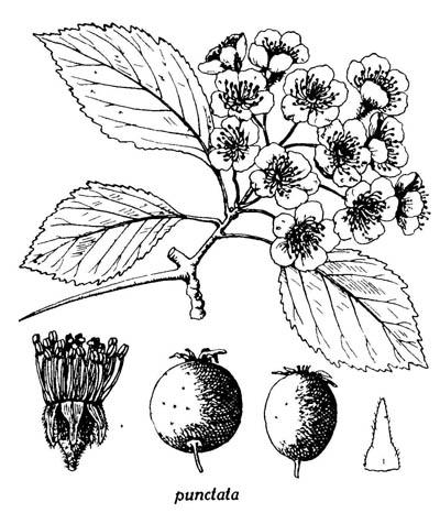 Hawthorn Flower Drawing