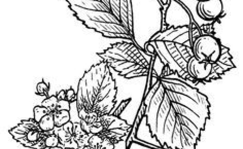 800x491 Hawthorn Flowers Drawings Gardening Flower And Vegetables
