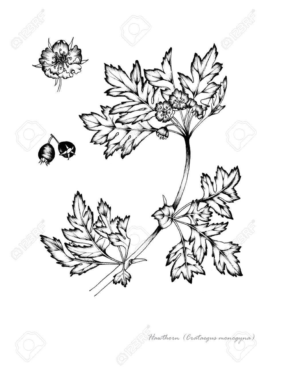 1002x1300 Hawthorn With Detail Of Fruit Flower Stock Photo, Picture