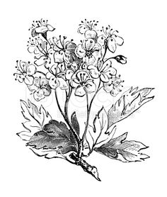 236x278 Image Result For Botanical Hawthorn Drawing Hawthorn