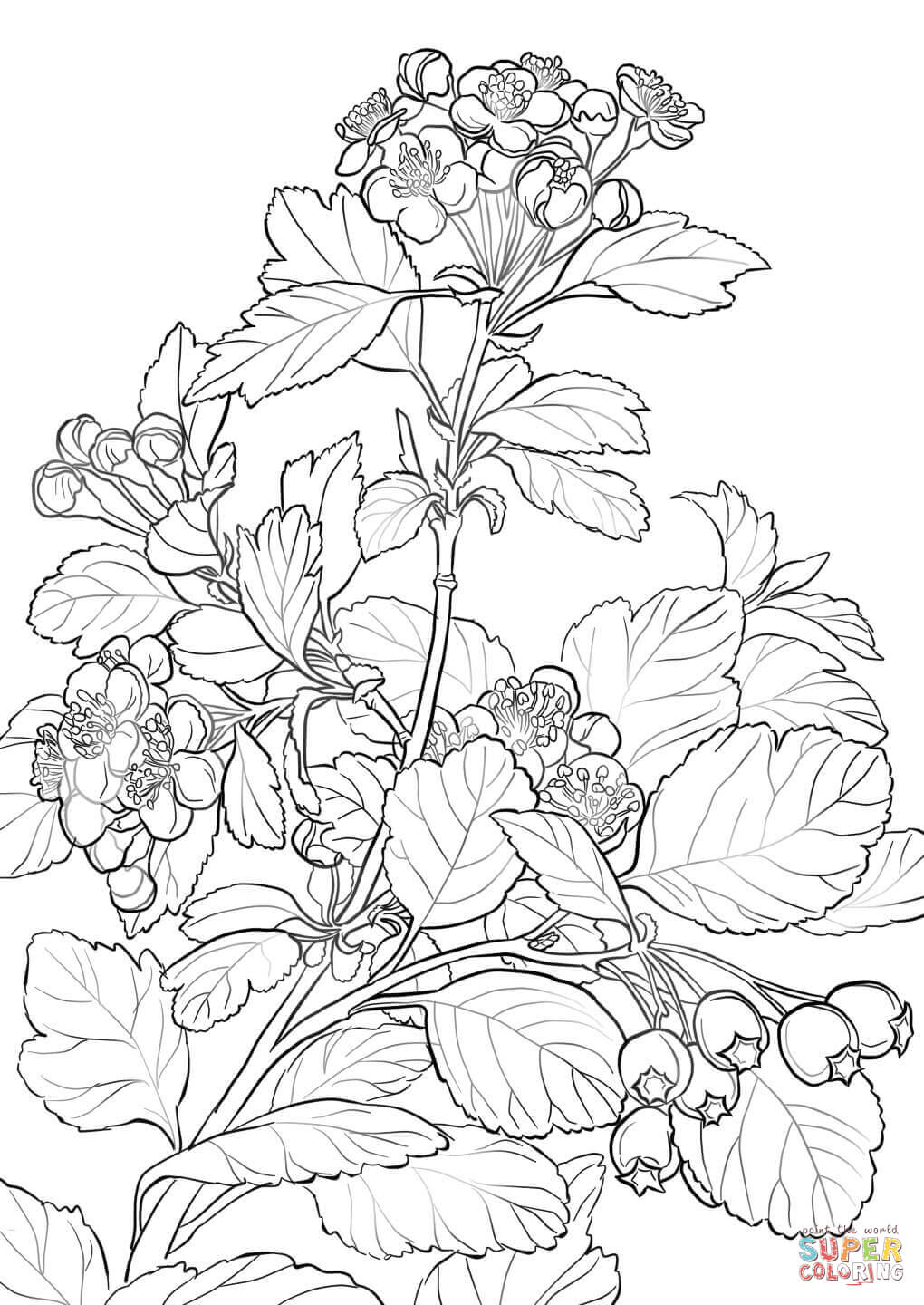 1020x1440 Midland Hawthorn Coloring Page Free Printable Coloring Pages