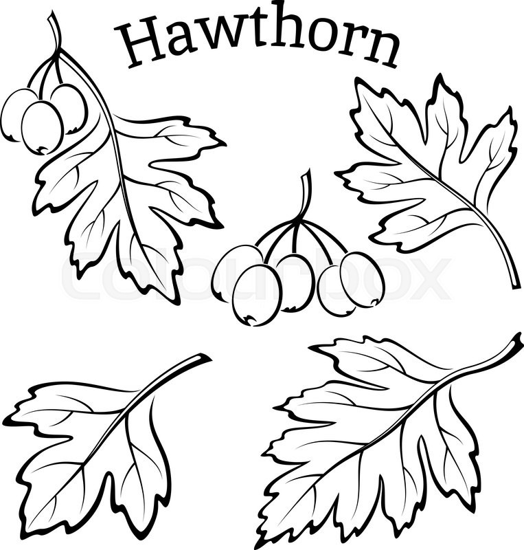 763x800 Set Of Plant Pictograms, Hawthorn Tree Leaves And Fruits, Black