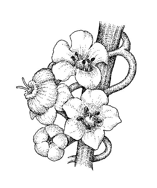 536x640 Convolvulaceae Dichotomous Key Go Botany