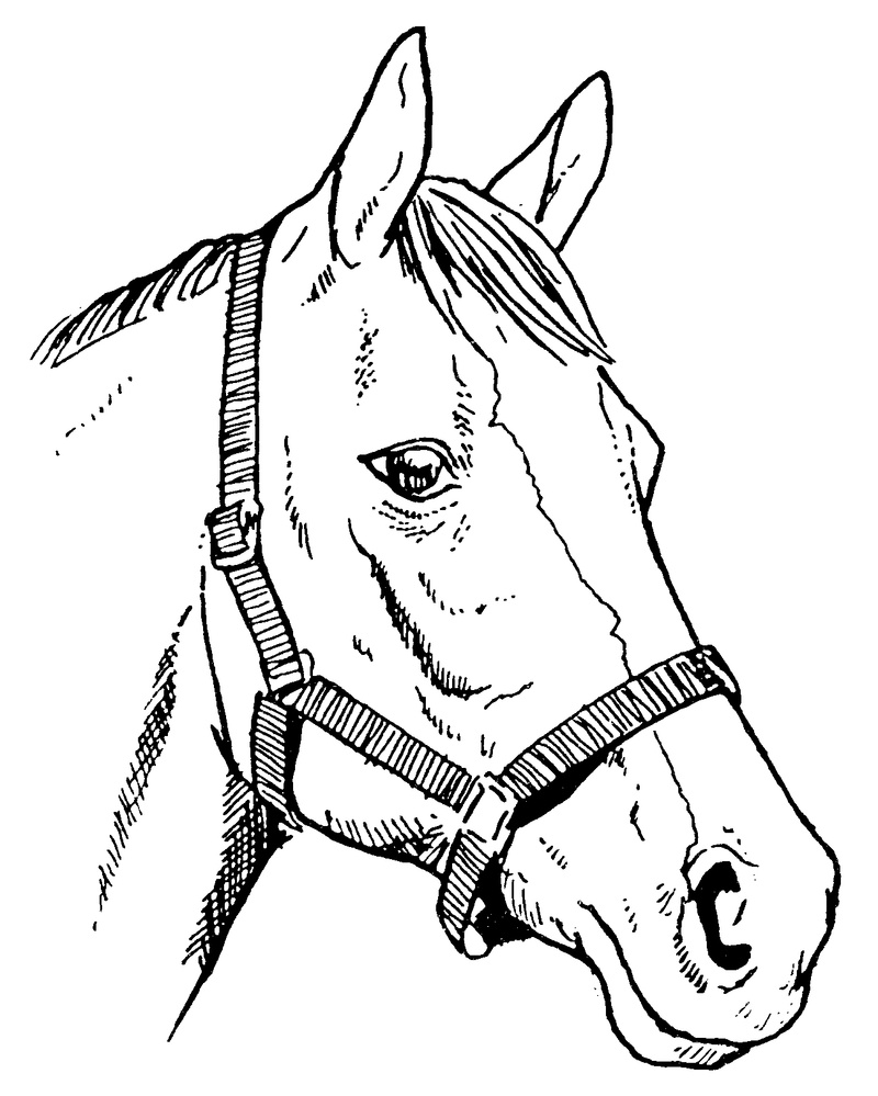 800x999 Horse Line Drawings Clip Art Biddle Horse Head