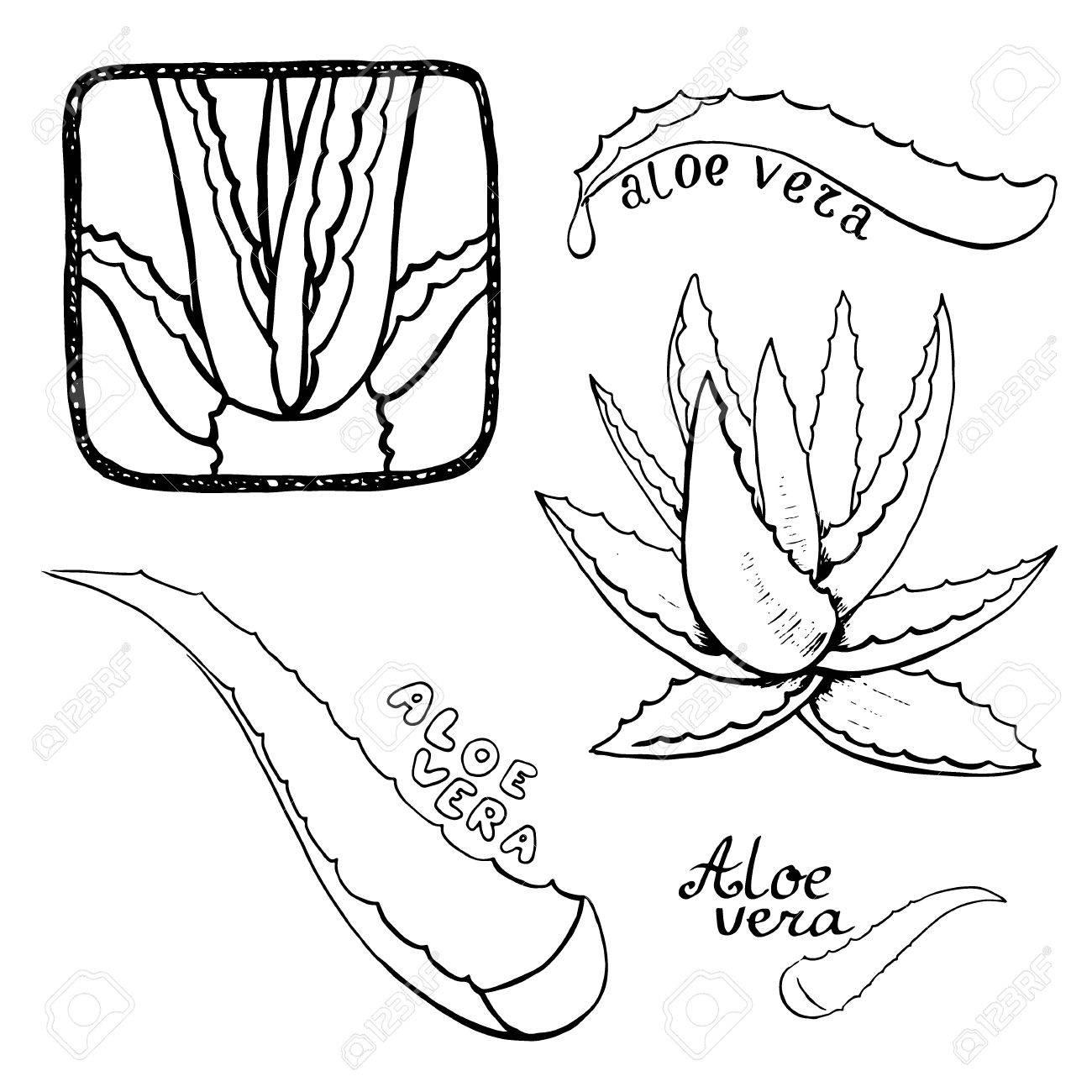 1300x1300 Aloe Vera Vector Hand Drawn Sketch Set. Healing And Cosmetics
